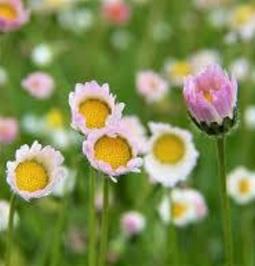 rain daisy 2.jpg