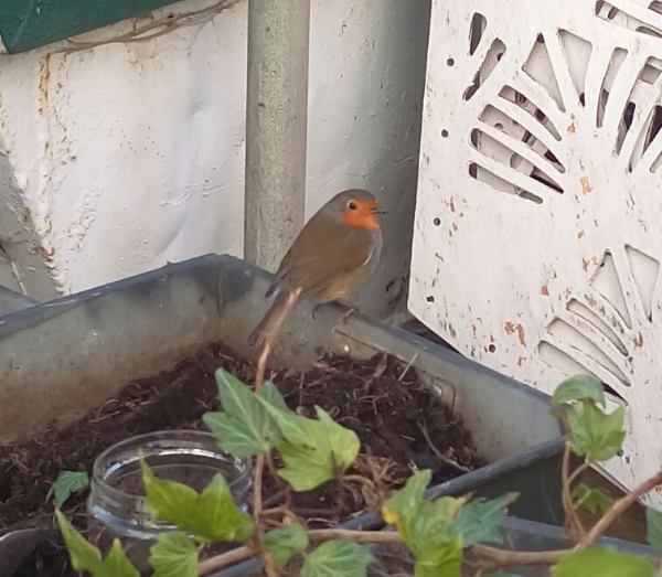 The Skip Garden robin is always keen to lend a bill  © Julie Riehl