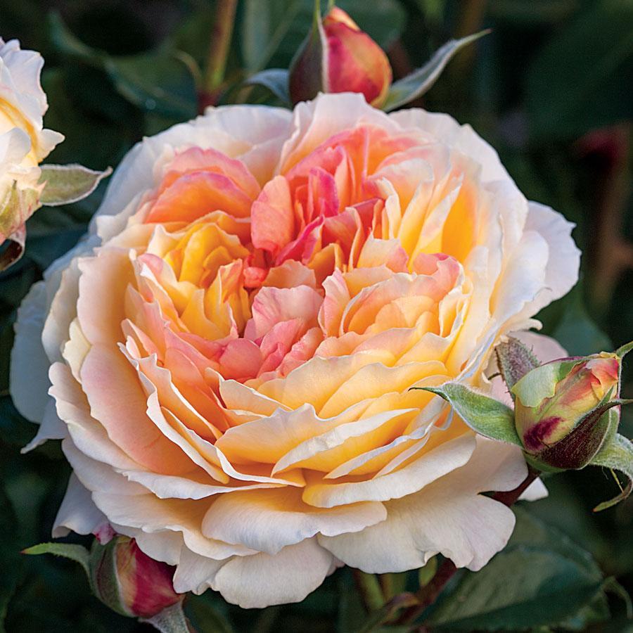Floribunda Rose