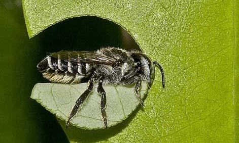 Those perfect circles are cut by one of the beautiful Leafcutter Bee.  Sit back and admire - the rose can cope.