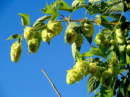 Centennial hops ready to harvest