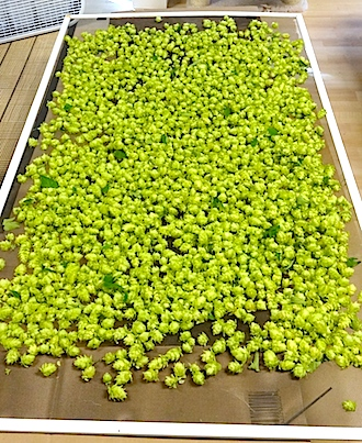 Hops drying