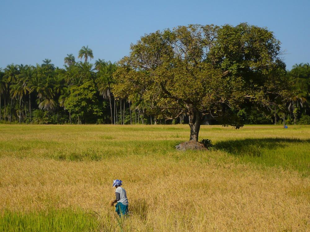 La culture du riz dans la région sénégalaise de la Casamance (Eduard Garcia/Flickr)