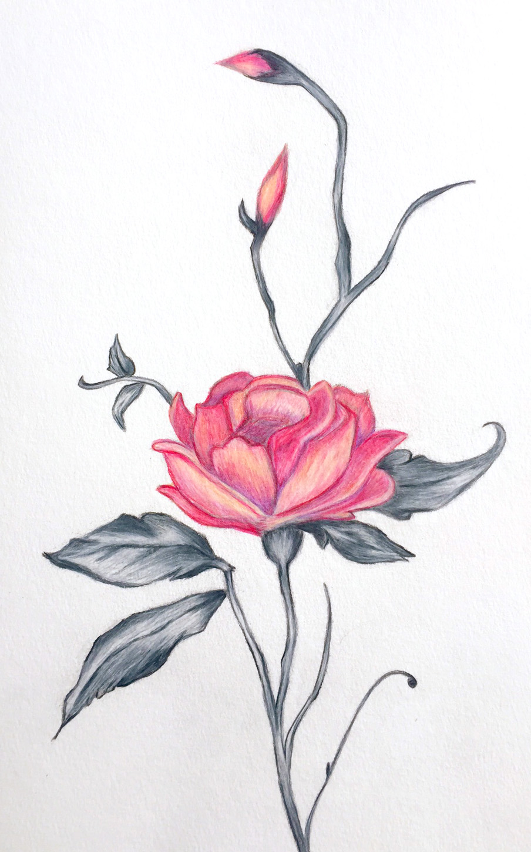 ROSE-Illustration--low.jpg