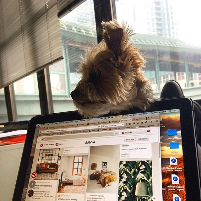 Our production managers takes overseeing design quite literally. #dogonduty #pinterest #gloomyday #a2designer #a2_interiors_studio #newoffice #design #moodboard #interiors