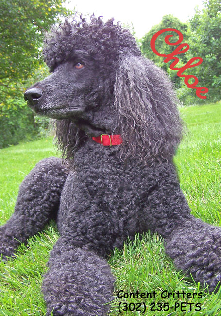 Chloe-poodle-reduced.jpg