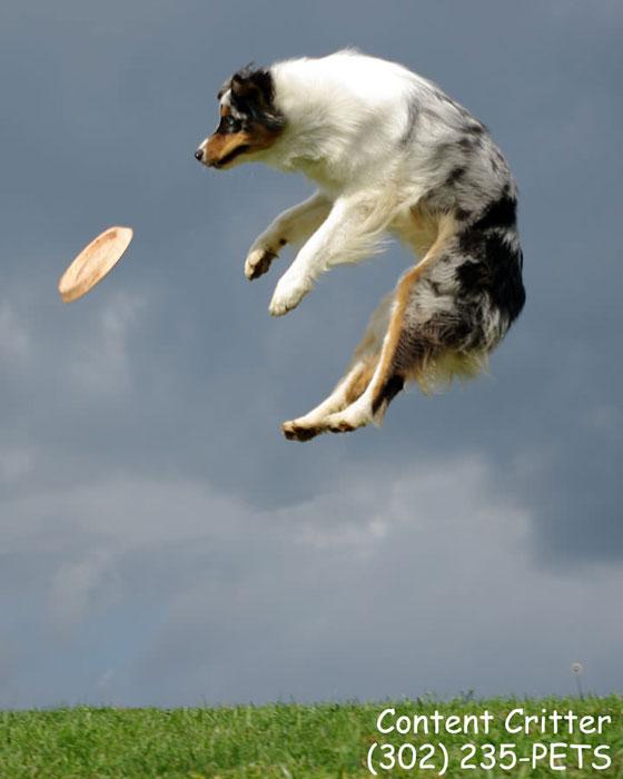 Shelby-jumping.jpg