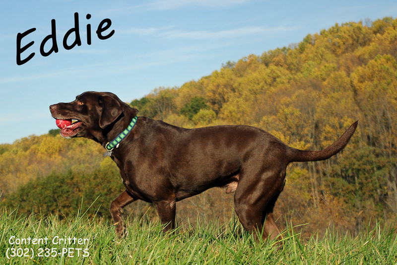 Eddie-Lab-running-6641.jpg