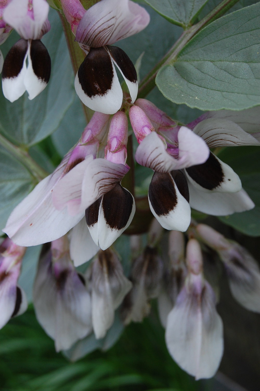 Fava bean flowers, photo by Megan Jamieson