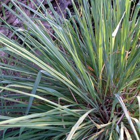 East Indian Lemongrass