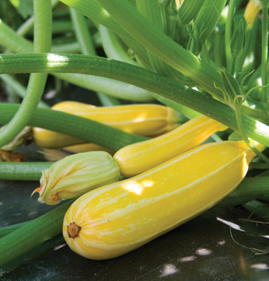 Success Yellow Straight Neck Squash