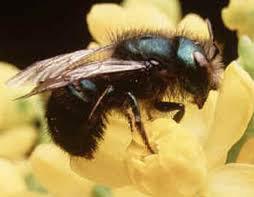 mason-bee.jpg