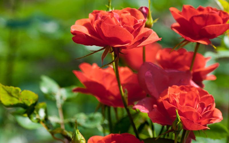Rose-Bush-800x500.jpg