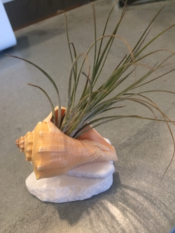 Adorable air plant nested inside a shell