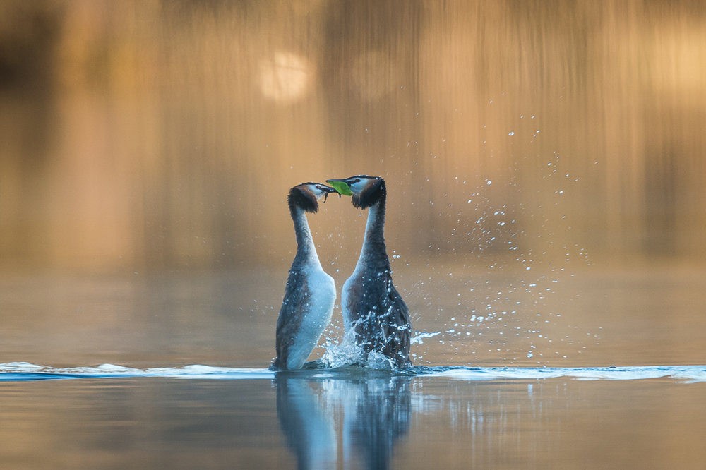 Great Crested Grebe mating dance in the early morning hours.