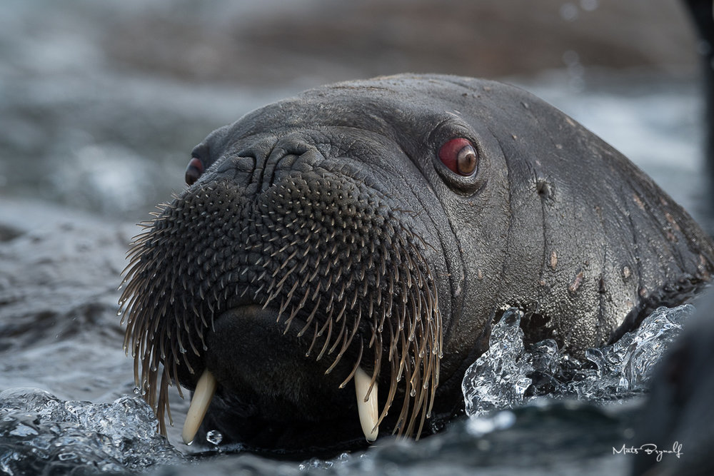 Closeup on Walrus