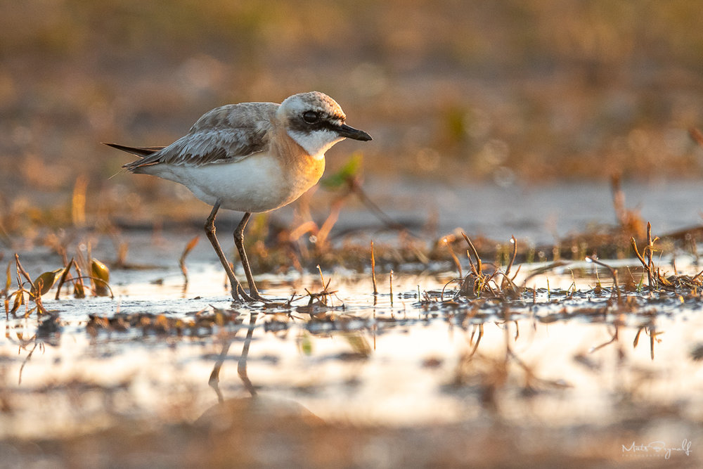 Rare bird (Greater sand plover) visiting Sweden/Alvesta