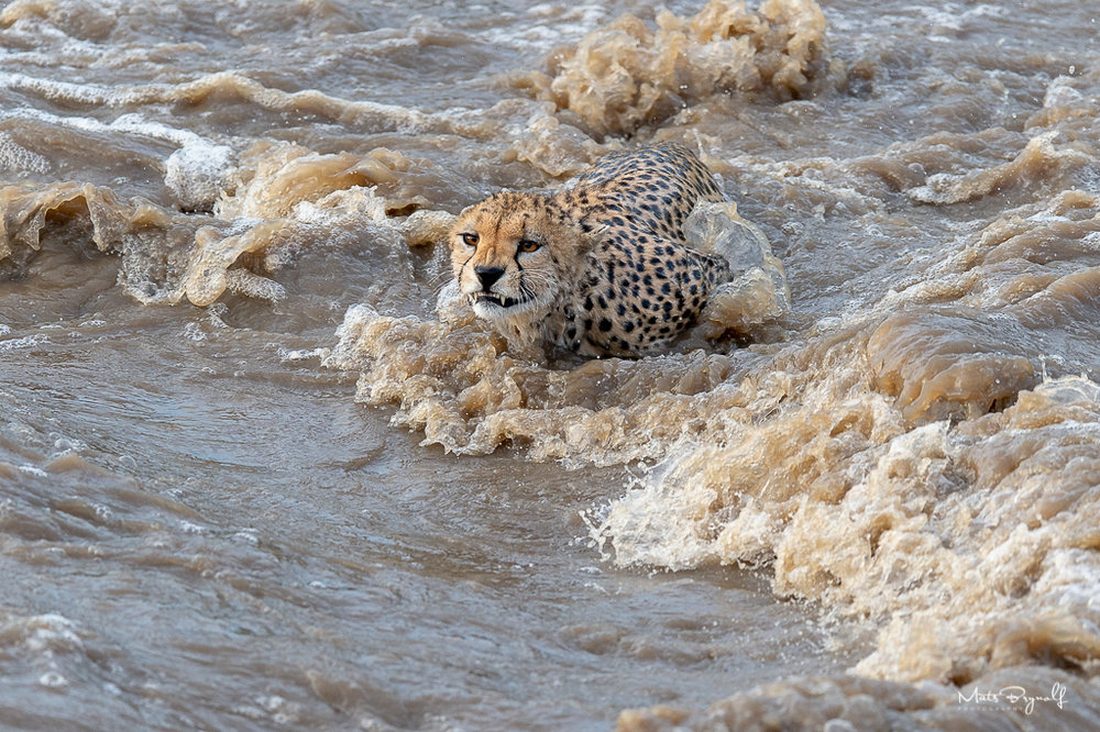 Cheeta crossing Talek River