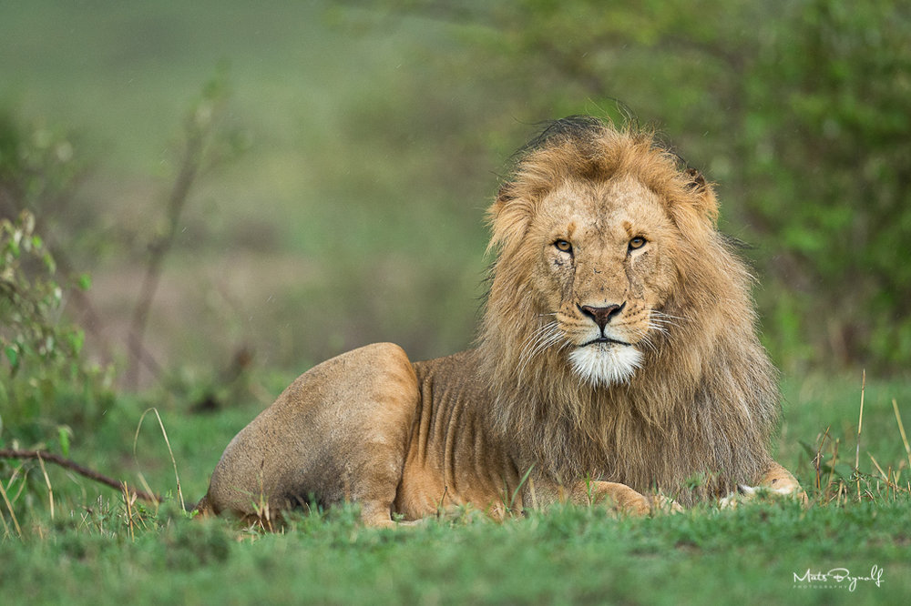 Lion photographed in Kenya 2018