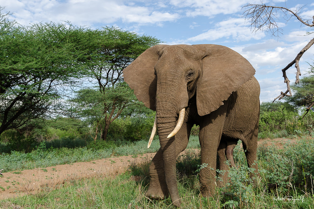 One of my absolute favorite animals, African elephant photographed in Tanzania 2013