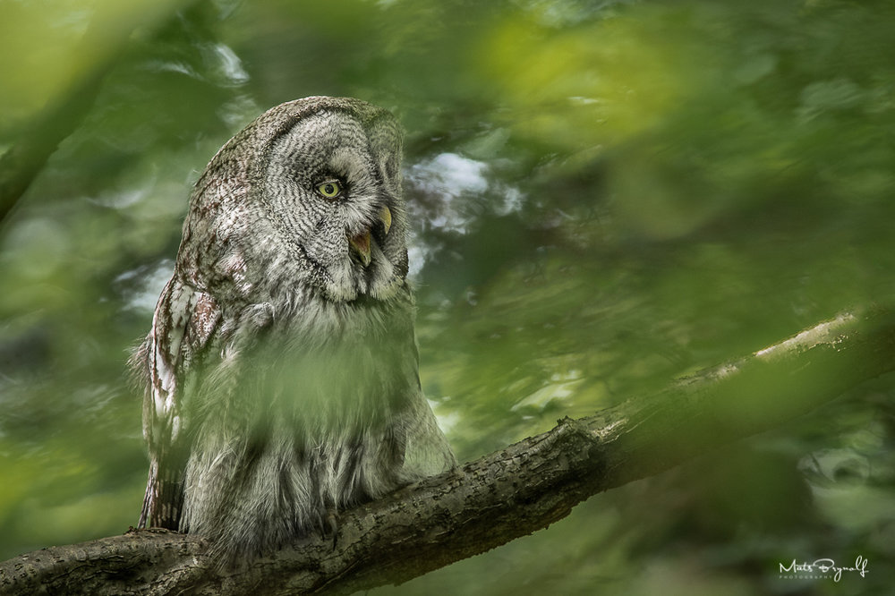 I got a chance to photograph this magnificent Great Grey Owl who is somewhat obscured by the leafs.   f6.7, 1/100sec, ISO1600