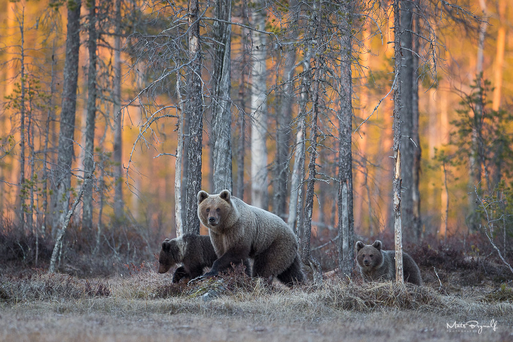 This image was the reward after many hours of total silence in the Finnish Taiga. Just as the evening light peaked a mother with two cubs walked out on the bog. What a great moment. I love how the sun lights up the forest trees in the background.   f4, 1/800sec, ISO 1600