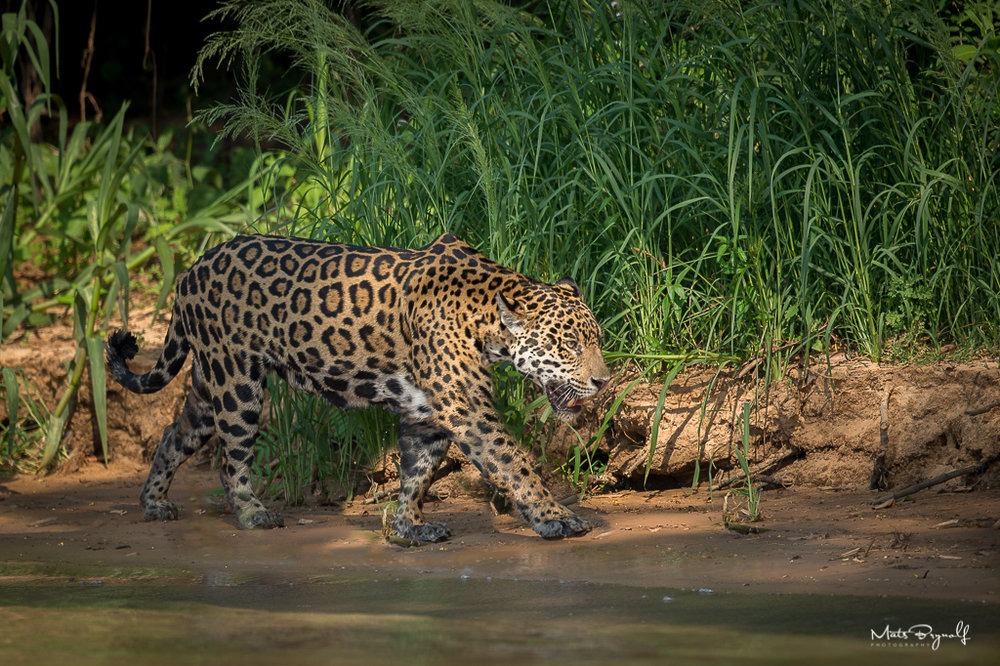 My first chance to see a jaguar in the wild. A big male came out of nowhere and headed down to the rivers edge. We could watch this magnificent animal for 1/2 hour.   f4, 1/2500sec, ISO 640