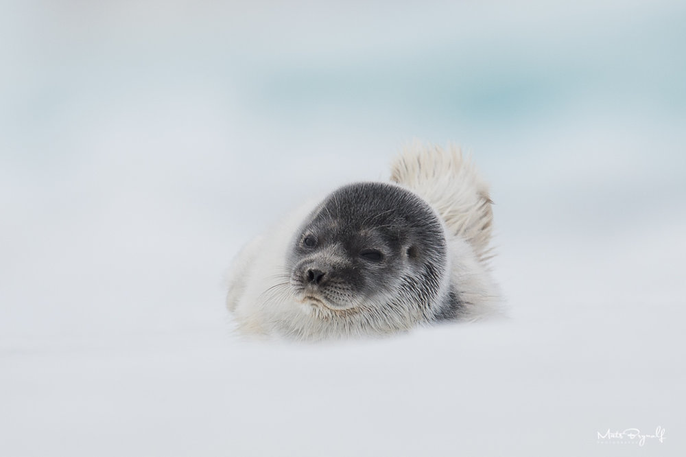 I got a chance to photograph a very young ringed seal in Svalbard. I wanted to get a low angle image so I could get a blurry foreground.   f6,3, 1/1250sec, ISO320
