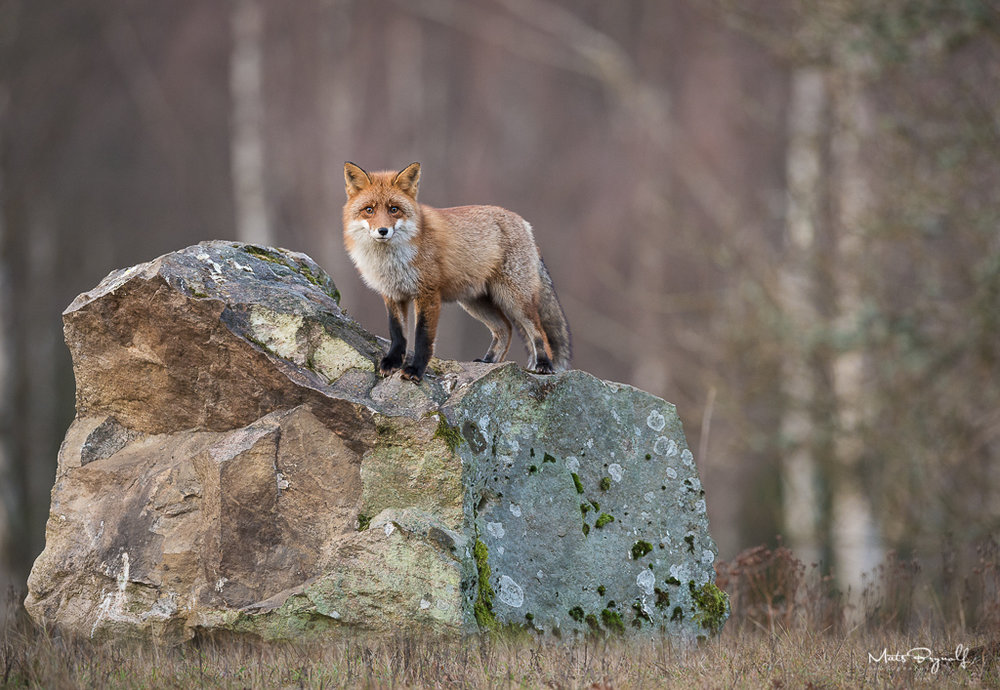 I didn't expect that. I was photographing eagles and this Red Fox showed up from nowhere. At first he was running around looking for for food. I guess he wasn't so brave to steel some of the food that was there for the eagles so he decided to jump up on the rock for a better view. I love the pose and the muted colors on this image.   f5, 1/500sec, ISO 1600