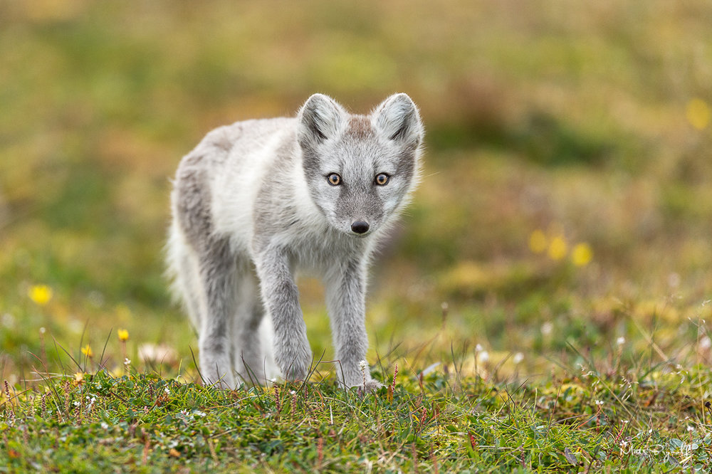 This wasn't my first time seeing an Artic Fox but it was the first time I could photograph this lovely animal. He come out of nowhere and I guess he was as curious on us as we where on him so stayed very close and around our car for a while. Great moment.   f4, 1/2000sec, ISO 800