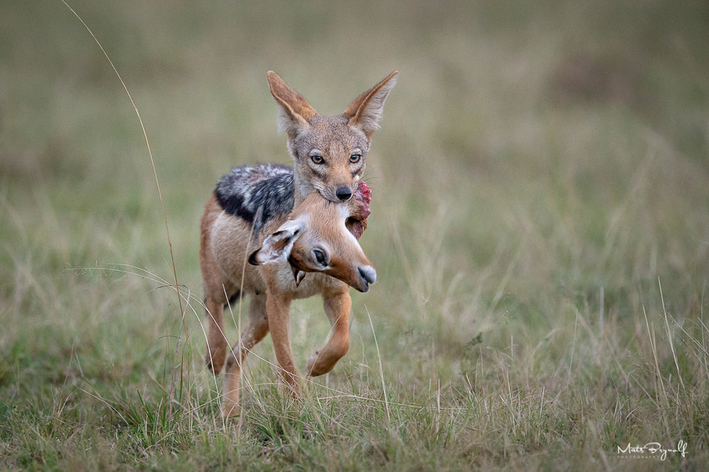 I saw this Blacked-backed Jackal in the distance from my binoculars but I couldn't make out what was in hes mouth. To my big surprise it was a head of an Impala.   f4, 1/250sec, ISO 6400