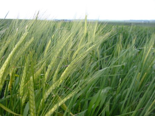 Barley field near Wallington, Hertfordshire. Copyright: Paul Dixon. Licensed for reuse under a Creative Commons Licence.