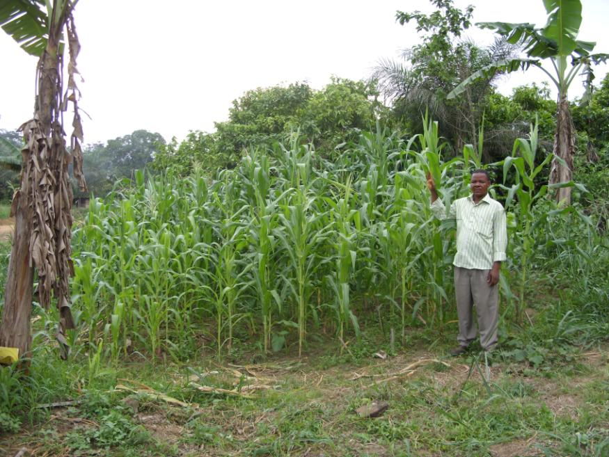 Key Farmers Cameroons coordinator at a plot in Ediki, in which the difference between char and non-char maize was exceptionally big. In this case, the plants on the control (left lower corner) were barely in their 8th leaf stage, whereas the plants on the char-plots (right, upper corner), were already tasseling. Photo credit: Laurens Rademakers, Etchi Daniel-Jones. Source: biocharfund.org.