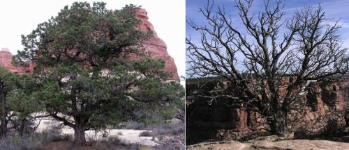 Pinus edulis (piñon shortened pine) before and after drought. Image source: Southwest Colorado Wildflowers.