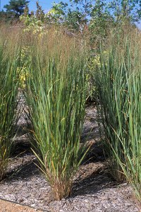 Switchgrass biofuel crop