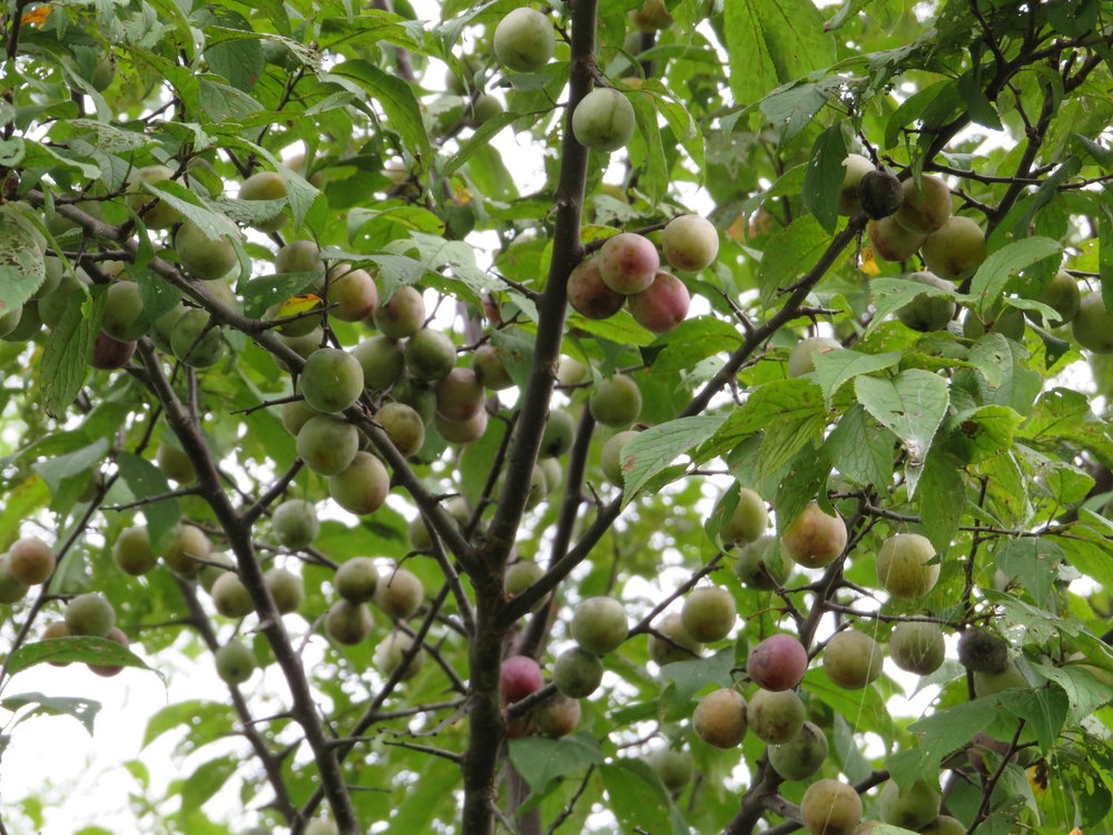 "Wild Plums in the O.K.I. region can be 1 of 6 different native species referred to as ""Wild Plums"", the one pictured here is Prunus americana, American Wild Plum"