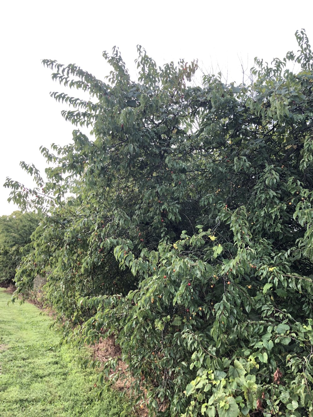 prunus-munsoniana-or-phortulana_43263629014_o.jpg