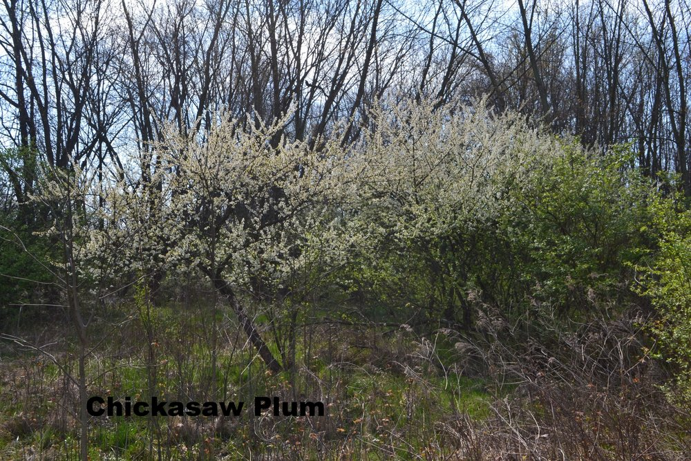 chickasaw-plum-prunus-angustifolia_33828894031_o.jpg