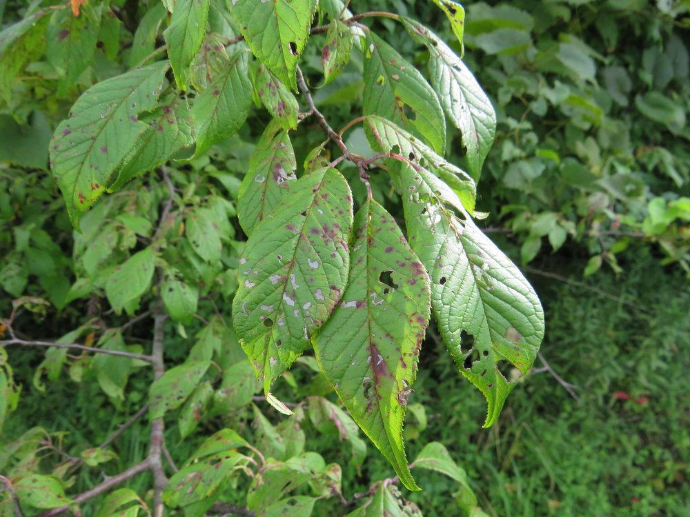 prunus-americana-american-wild-plum_43194677075_o.jpg