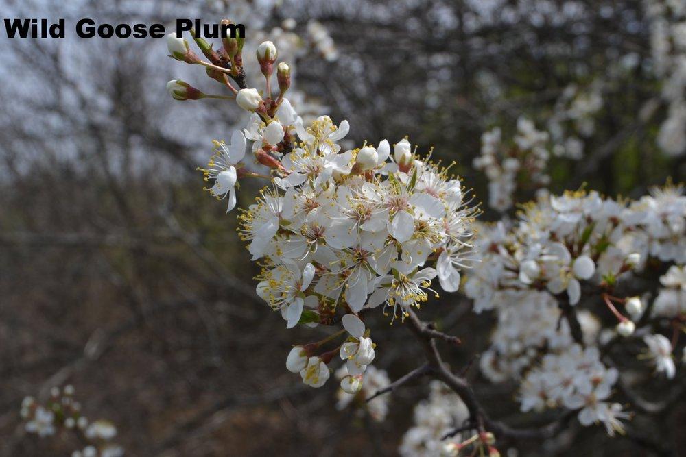 prunus-munsoniana-or-phortulana_33115365554_o.jpg