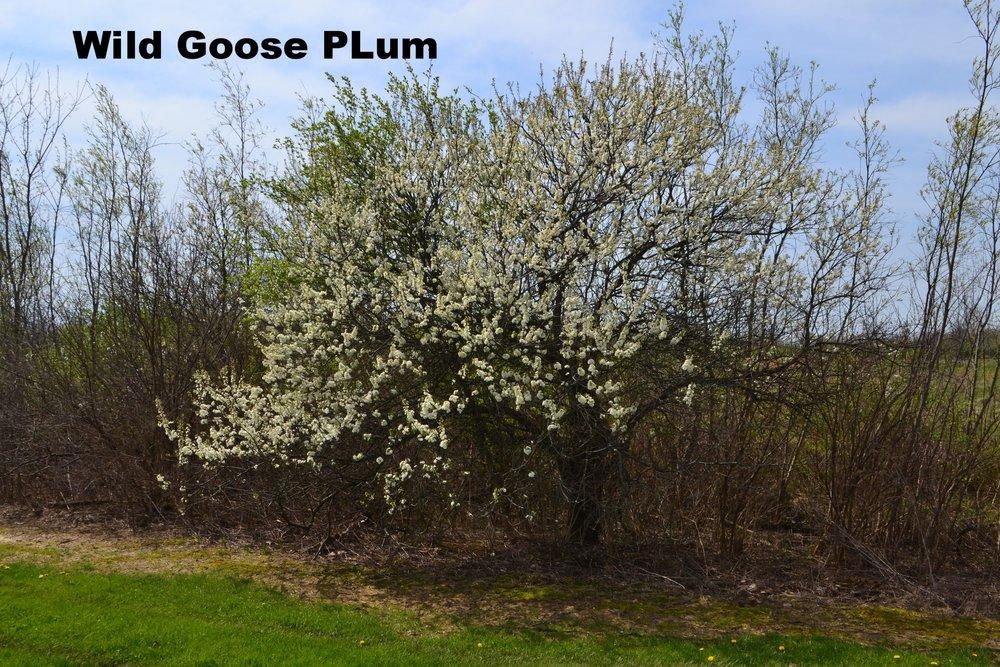 prunus-munsoniana-or-phortulana_33573753040_o.jpg