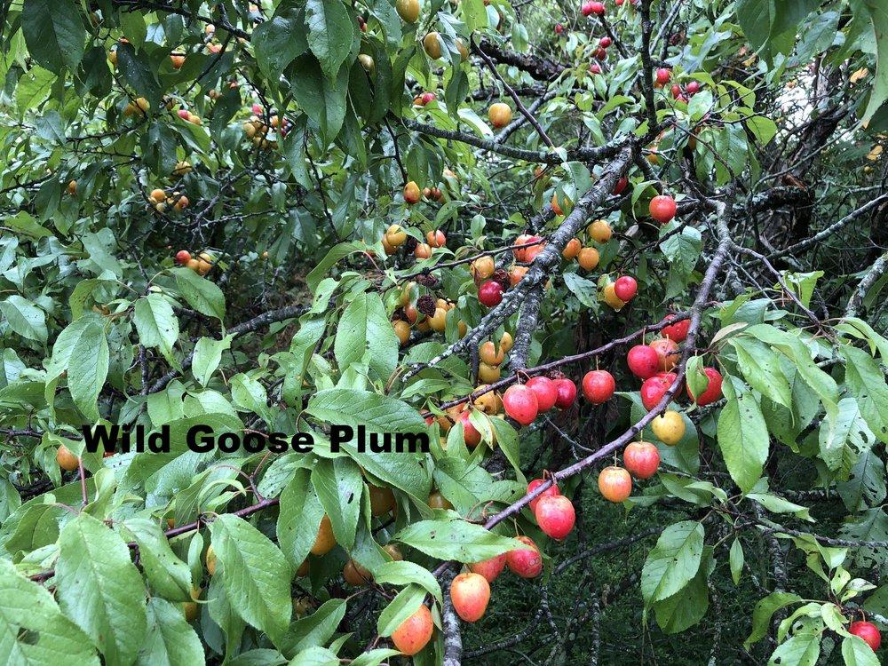 prunus-munsoniana-or-phortulana_29042511117_o.jpg