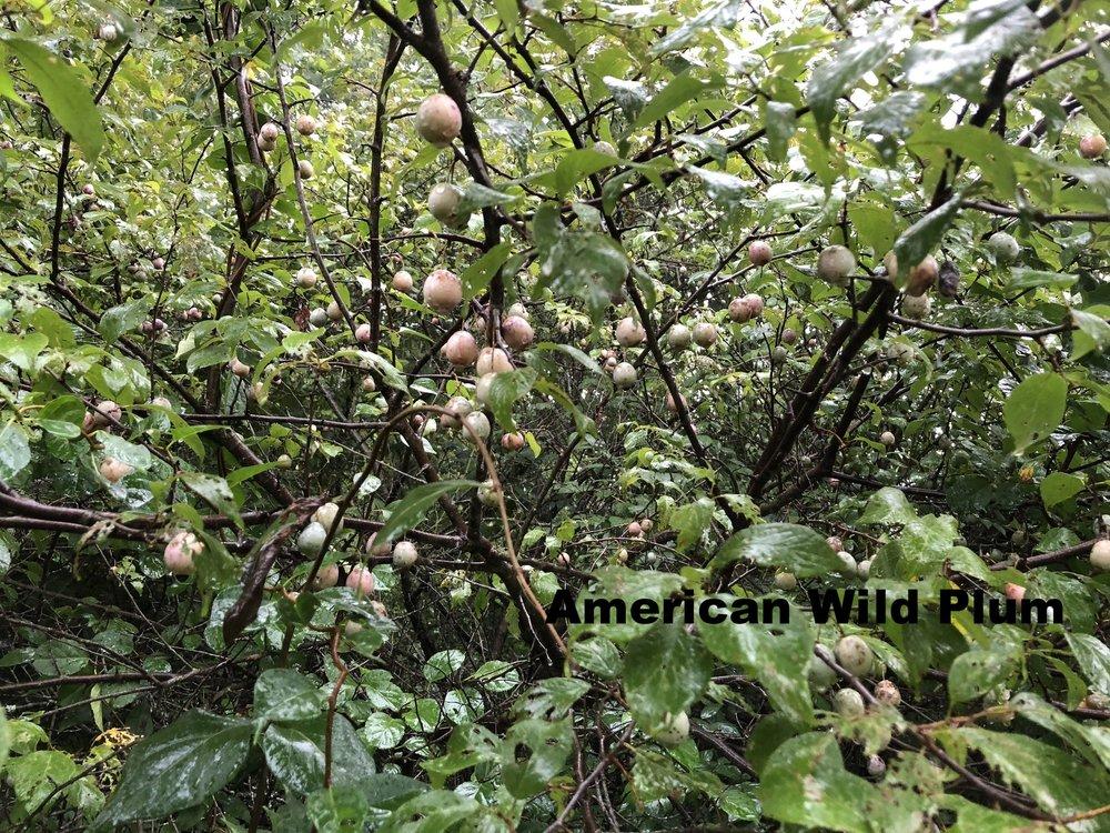 prunus-americana-american-wild-plum_29042511067_o.jpg
