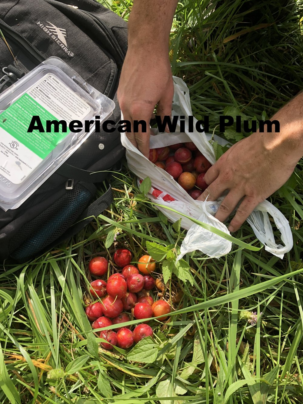 prunus-americana-american-wild-plum_30233138668_o.jpg