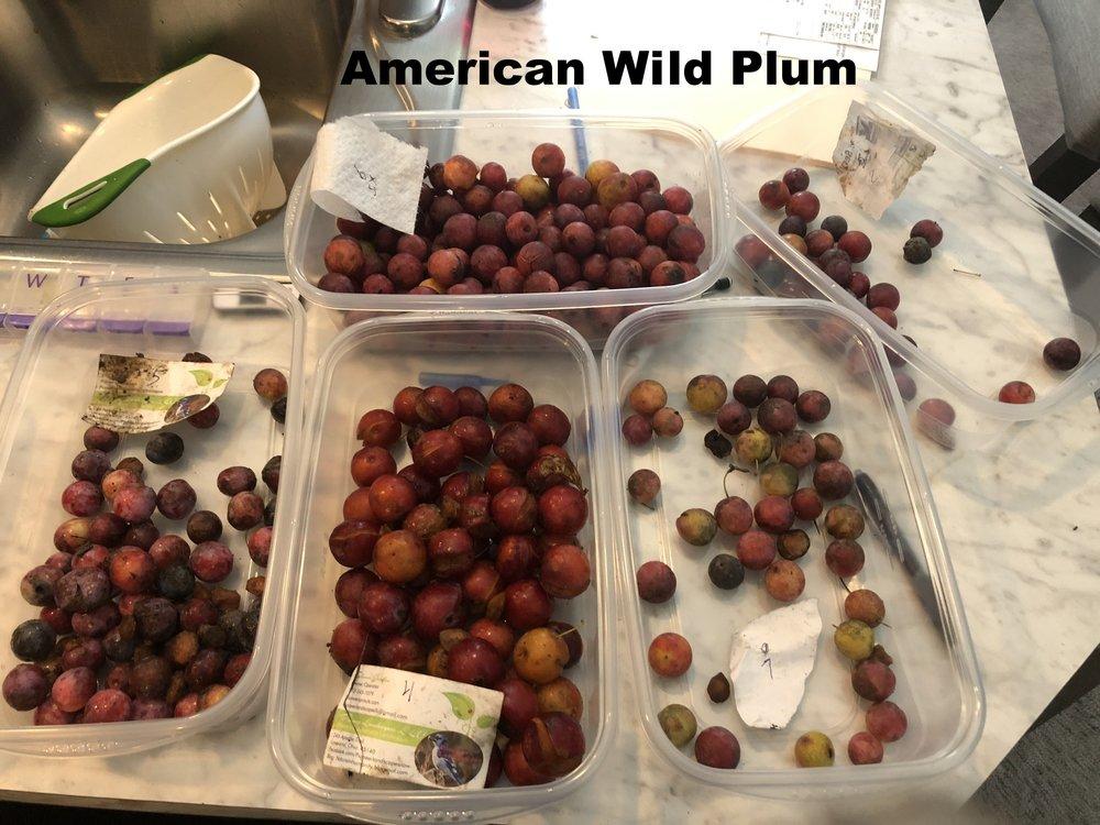 prunus-americana-american-wild-plum_44101217901_o.jpg