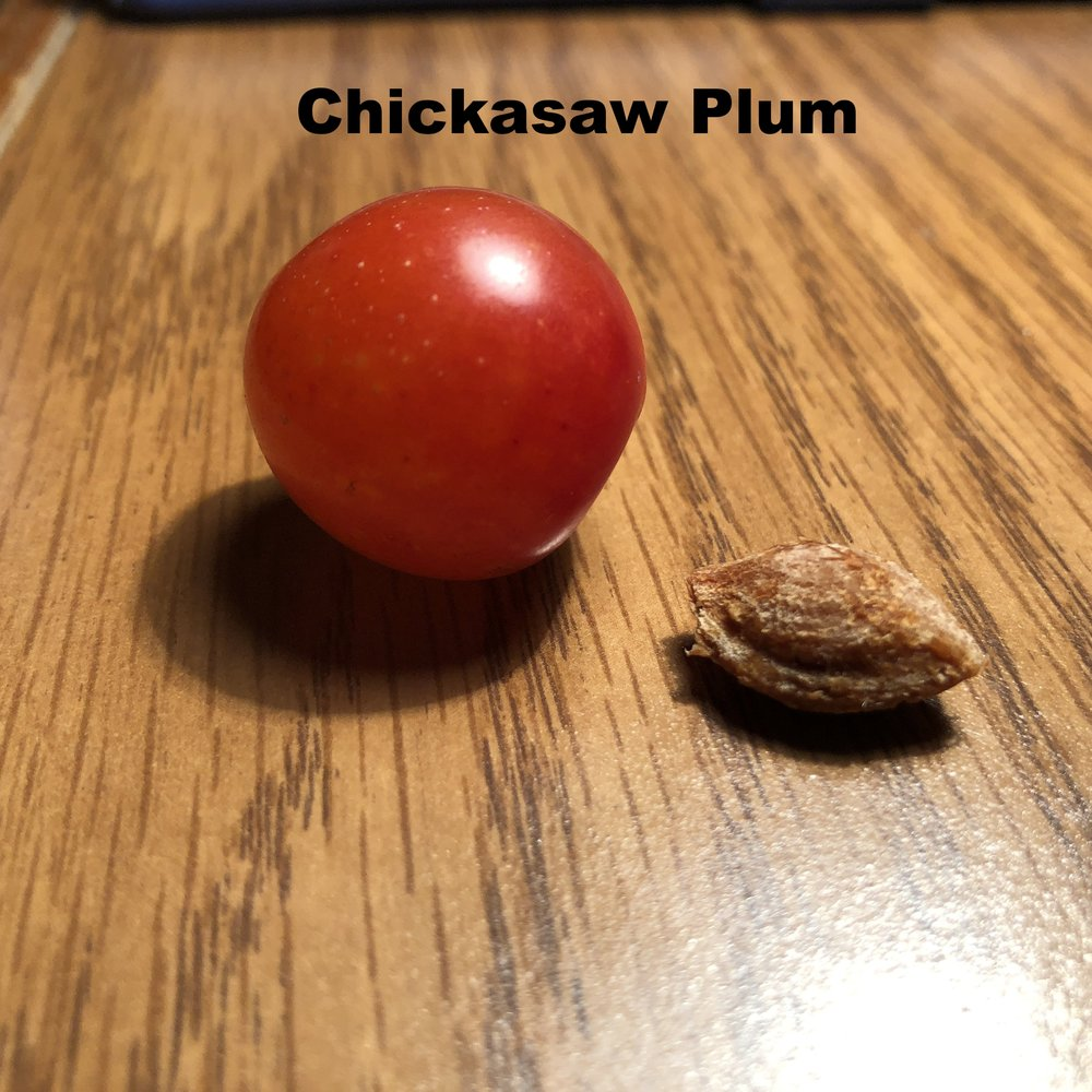 chickasaw-plum-prunus-angustifolia_42660250905_o.jpg