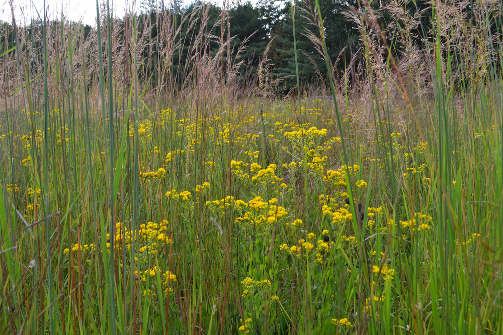 Stiff goldenrod competes well with the tall grasses of the prairie like Big Bluestem, Switchgrass and Indian grass. Wide scale restoration of prairies for biomass spells the end of many conservation issues such as pollinator decline and the historical decline of native prairies, some of which less than 1% remain.