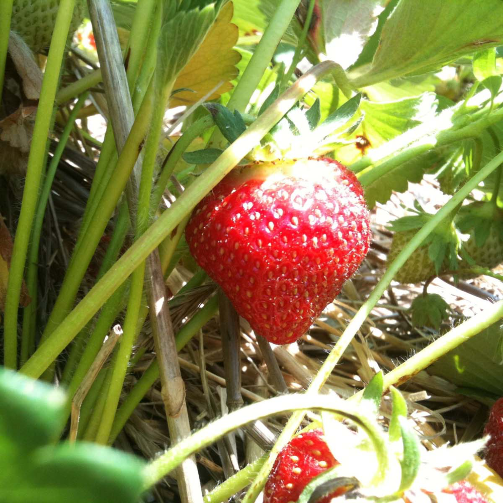 pell farms strawberry4 sq.png