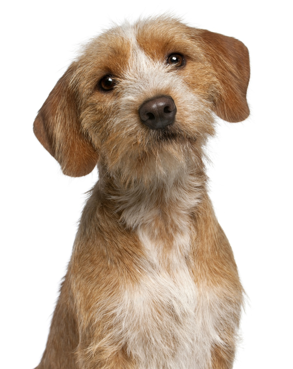 closeup-of-basset-fauve-de-bretagne-1-year-old-in-front-of-white-background-l.jpg