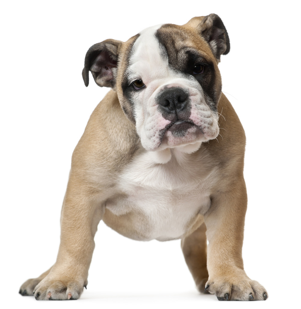 photodune-594111-english-bulldog-puppy-11-weeks-old-standing-in-front-of-white-background-l copy.jpg
